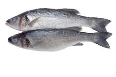 Two fishes. Close-ups of two sea bass fish isolated on white Stock Photography