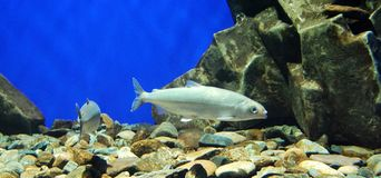Two fishes in the aquarium. Close up Stock Images