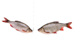 Two fishes, fish on a hook,  isolated on white, clipping path. Two fishes, fish on a hook, isolated on white background with clipping path included Royalty Free Stock Images