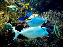 Two fishes with horn in tropical aquarium Royalty Free Stock Images