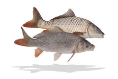 Two fishes isolate Stock Image