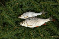Two fishes Royalty Free Stock Photography
