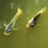 Two fishes. Stock Image