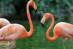 Two flamingo. Love each other Stock Photos