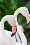 The two Flamingo bird Stock Image