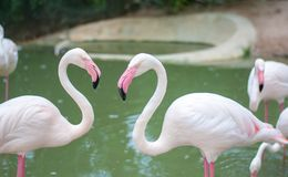 Two flamingo birds is facing to each other, their neck is about to be heart shape. But their eyes are staring right to the camera stock images