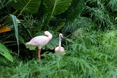 Two flamingo birds standing in green wild it the beautiful of na Stock Photography