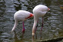 Two flamingo Stock Photography