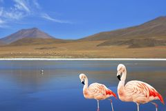 Two flamingo in the lake in  Bolivia South  America Stock Photo