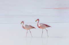 Two flamingo on the lake Stock Photography