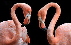Two flamingo lovers. A pair of flamingos lowering their heads together in the shape of a heart stock photo