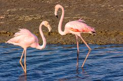 Two flamingo lovers in the lagoon royalty free stock photos