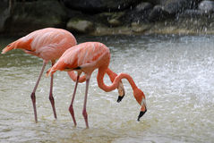 Two flamingo in water Stock Photo