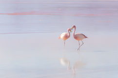 Two flamingo Royalty Free Stock Images