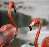 Two flamingoes next to eachother royalty free stock images