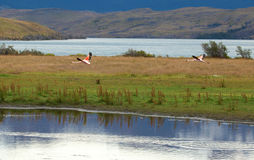 Two flamingoes in Torres del Paine Stock Image