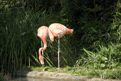 Two flamingos. Two pink flamigos cleaning themselves stock photos