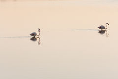 Two Flamingos. Two pink flamingos in the morning and their reflections on a pond Stock Photo