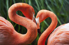Two flamingos. Posing in a heart shape Royalty Free Stock Photos