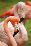 Two Flamingos Royalty Free Stock Image