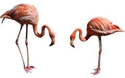 Two flamingos stock photo
