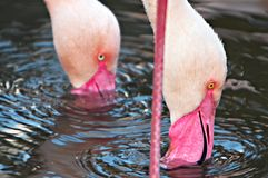 Two flamingos Stock Photography