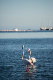 Two Flamingos in the Bay. Two flamingos search for food in the shallow waters at Walvis Bay with some sailing yachts far behind Royalty Free Stock Images