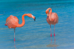 Two flamingos on the beach Stock Images
