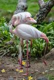 Two flamingos Royalty Free Stock Image