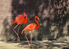 Pink Flamingo Two Step royalty free stock image