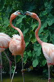 Two Flamingos engaged in a kiss. Two Flamingos touching beaks like they are kissing, their necks almost make a heart shape Stock Photos