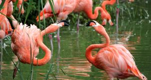 Flamingos fight Stock Photo