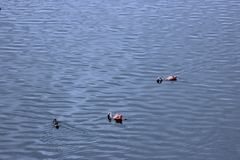 Two Flamingos fishing in lake , Africa Stock Photography