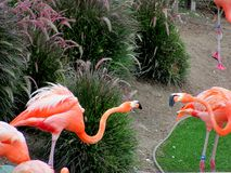 Two flamingos Royalty Free Stock Photography