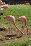 Two Flamingos Pecking the Ground Together. Two flamingos stand side by side and peck at the ground for food royalty free stock photography