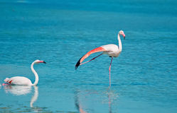 Two flamingos Stock Photo