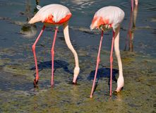 Two flamingos with red redish feathers standing in muddy lake. With curved necks hanging downwards while searching food Stock Images