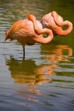 Two flamingos resting. In Yucatan Mexico Stock Photo