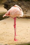 Two flamingos sleeping Royalty Free Stock Photo