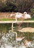 Two Flamingos stock image