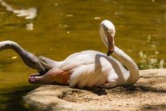 Two Flamingos touching each other Stock Photos