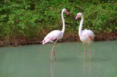 Two flamingos. stock images