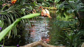 Two flamingos wading water stock video