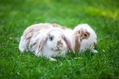 Two flap-eared pet rabbits on green grass. Royalty Free Stock Image