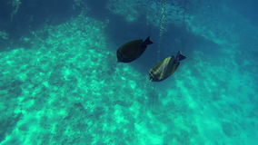 Two flat fishes swimming in big sea stock footage