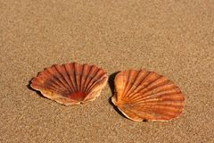 Two flat sea shells on the sand. Two flat sea shells laying on the flat sand of the beach. One next to each other in a perpendicular fashion. Medium depth of Stock Photo