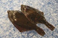 Two flatfishes. Two fresh flatfishes lay on ice Stock Photo