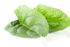 Two fleshy spinach leaves Royalty Free Stock Images