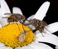 Two flies Stock Photography