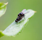 Copulation flies Royalty Free Stock Images